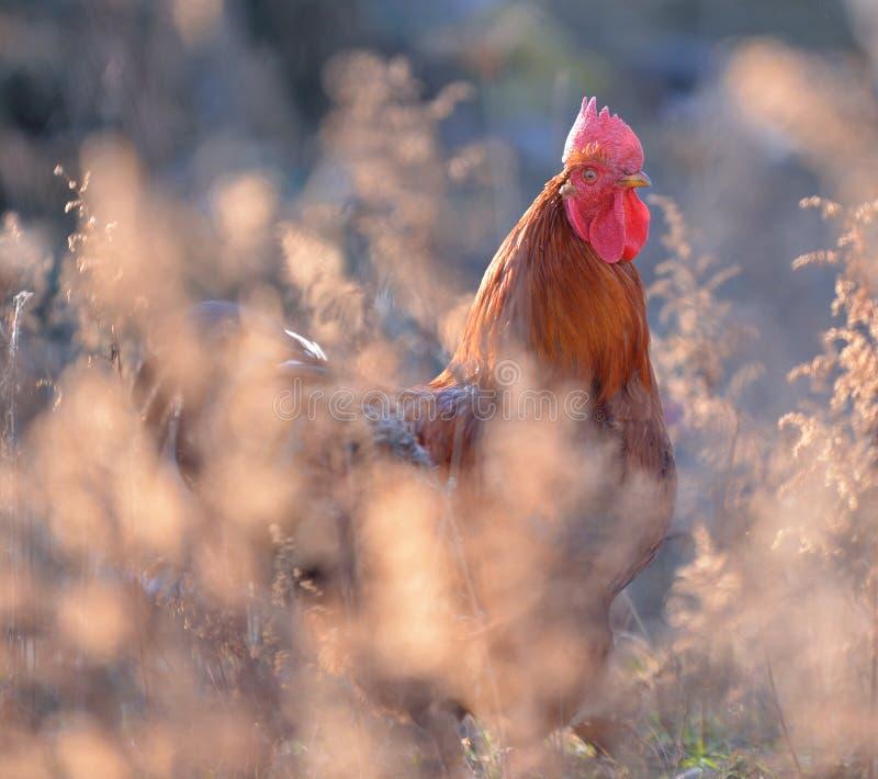 Gallo o gallo de lucha colorido en foto de archivo