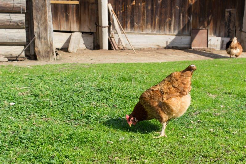 Gallo, pollame, pollo, immagini stock libere da diritti