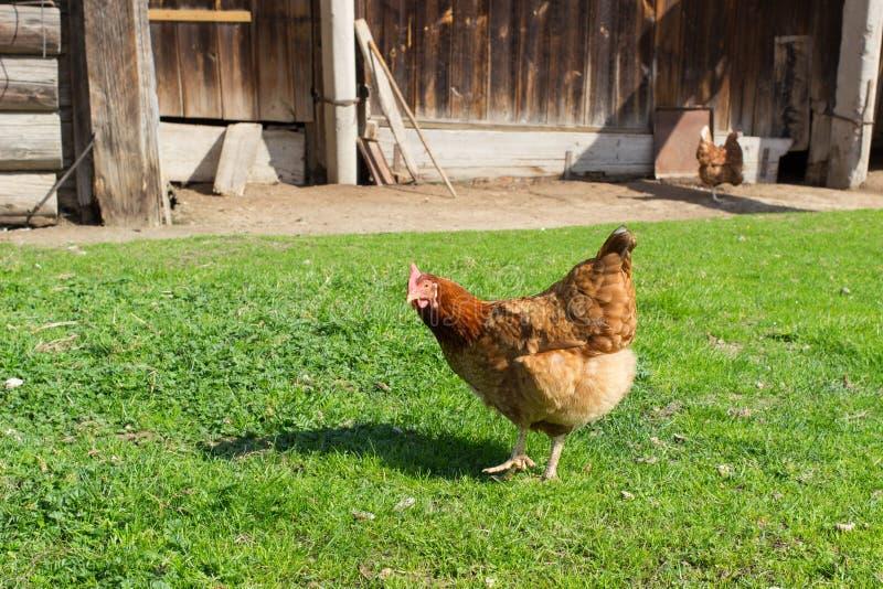 Gallo, pollame, pollo, fotografia stock