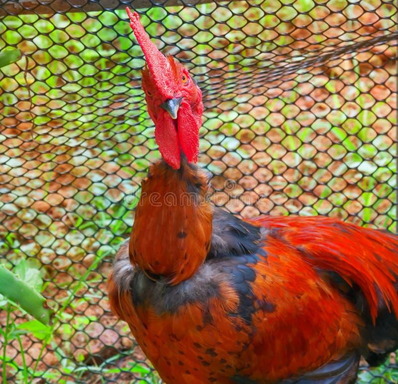 Gallo rojo brillante imagen de archivo libre de regalías