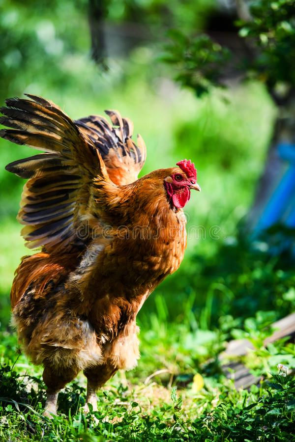 Gallo rojo Gallo, imagen rural rústica en día soleado imágenes de archivo libres de regalías