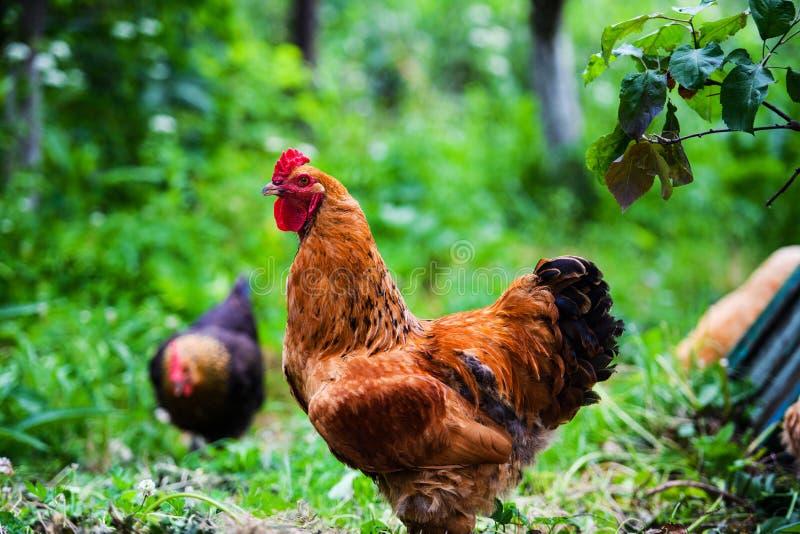 Gallo rojo Gallo, imagen rural rústica en día soleado foto de archivo libre de regalías