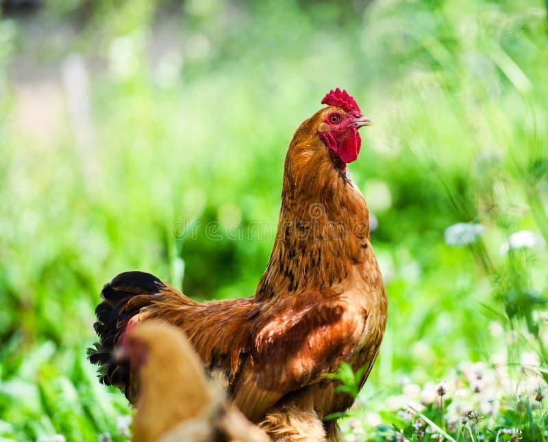 Gallo rojo Gallo, imagen rural rústica en día soleado fotos de archivo