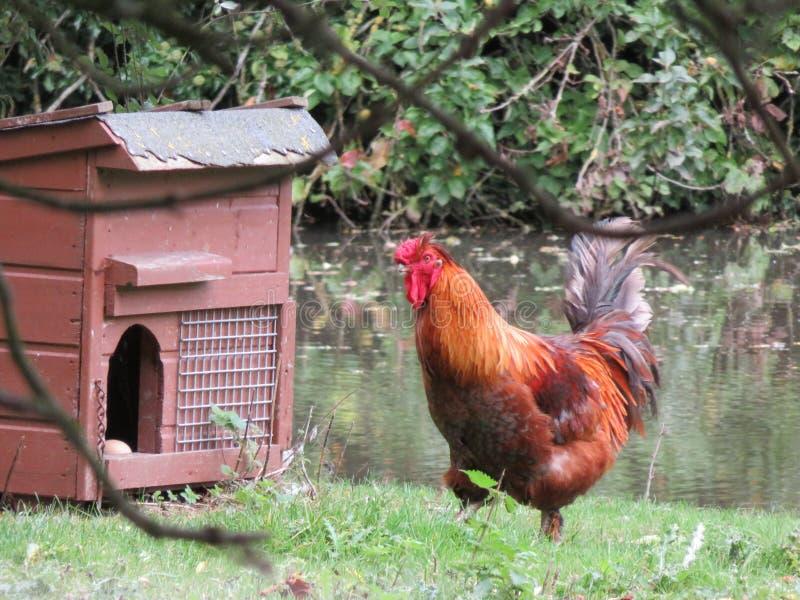 Gallo rosso su un'azienda agricola fotografia stock