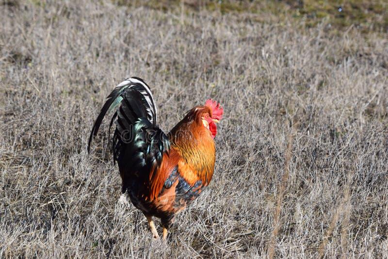 Gallo in un campo che cammina intorno fotografia stock libera da diritti