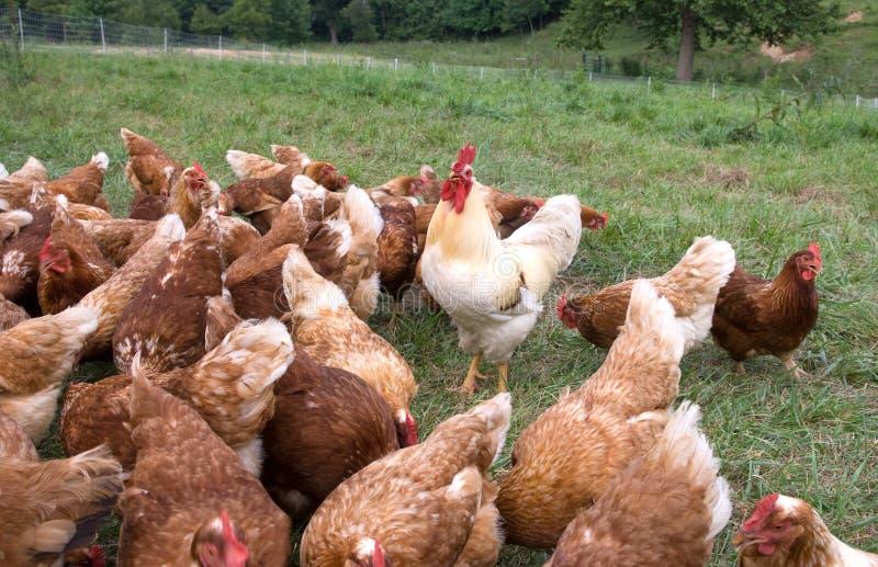 Gallo y gallinas grandes fotos de archivo libres de regalías