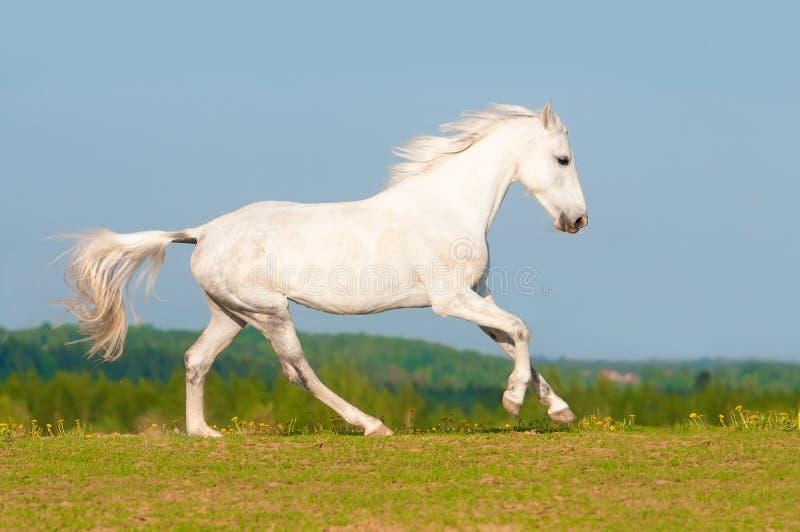 Gallop бегов белой лошади на лужке стоковое изображение