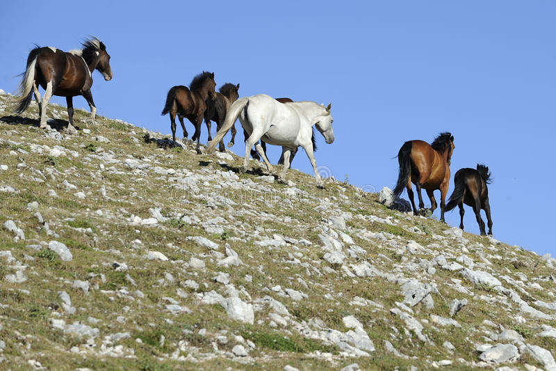 Gallop одичалой лошади стоковое изображение rf