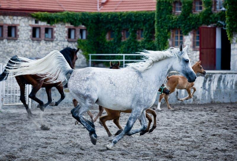 Gallop arabian horses. Gallop of arabian horses on polish farm stock photo