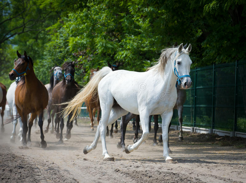 Gallop arabian horses. Gallop of arabian horses on polish farm royalty free stock photography