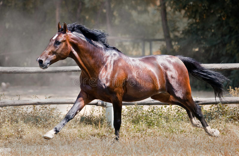 Gallop Horse Royalty Free Stock Photo