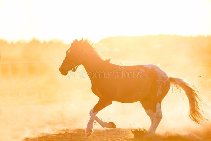 gallopading在沙子的黑暗的纯血统马 免版税库存照片