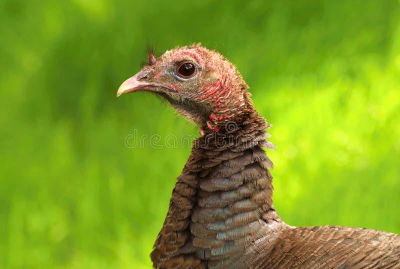 Gallopavo selvagem do Meleagris de Turquia imagens de stock royalty free