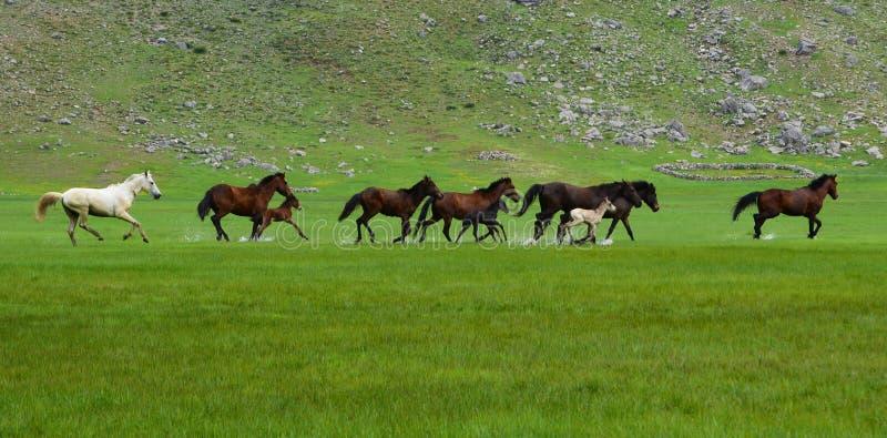 galloping лошади стоковая фотография rf