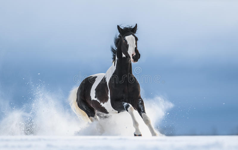Galloping American Paint horse in snow. American Paint horse running gallop across a winter snowy field stock photos