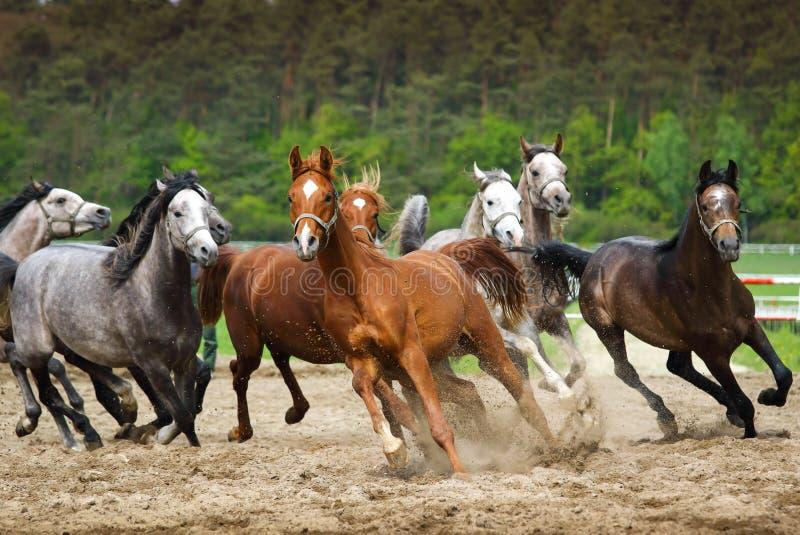 Galloping Arabian horses royalty free stock photo