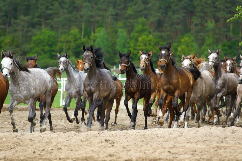 Galloping arabian stallions stock photo
