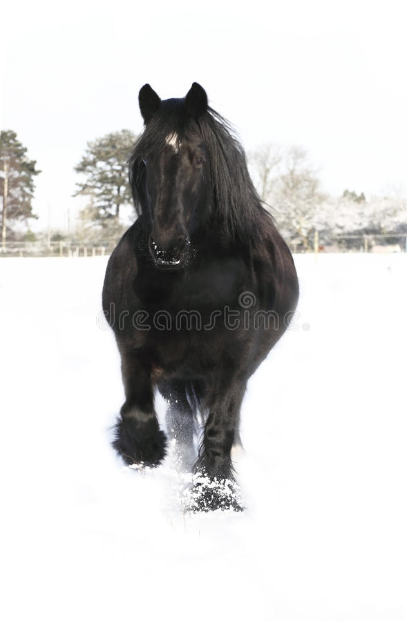 Galloping black horse royalty free stock image