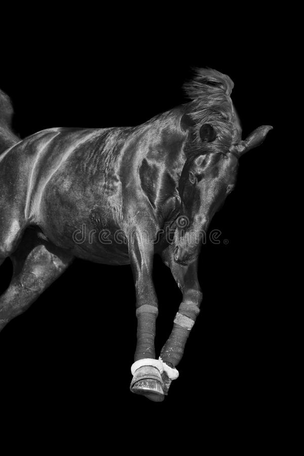 Galloping black stallion. Black and white image of a galloping horse on a black background royalty free stock photography