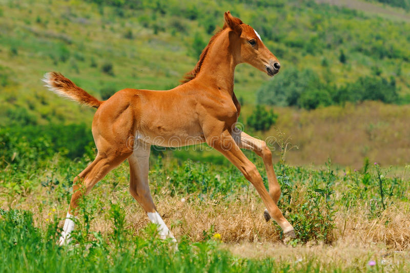 Galloping chestnut foal in summer field. Galloping cute chestnut foal in summer field royalty free stock photography