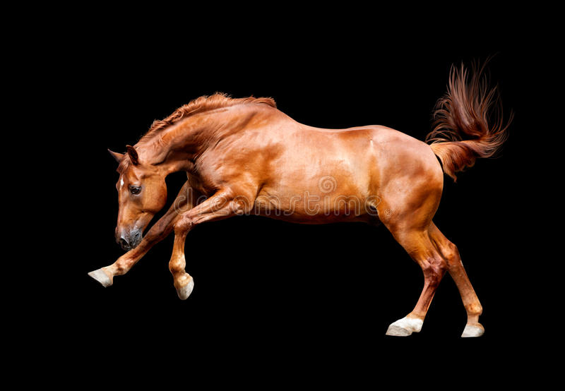 Galloping chestnut horse, isolated on black background. The Galloping chestnut horse, isolated on black background stock photos