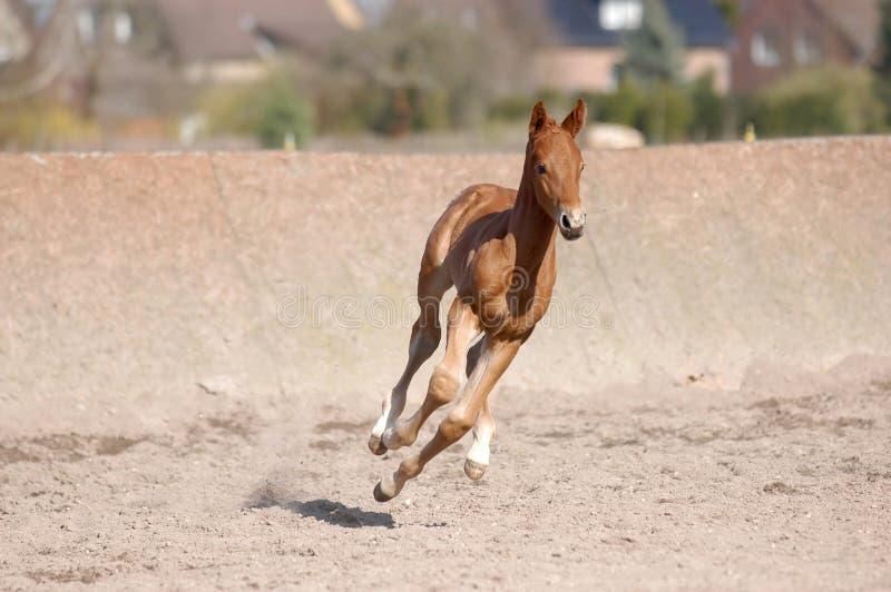 Galloping foal stock photo