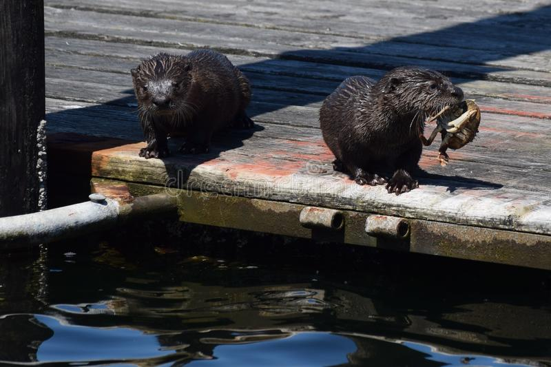 CRAB A LUNCH OTTERS OUT TO LUNCH, royalty free stock photo