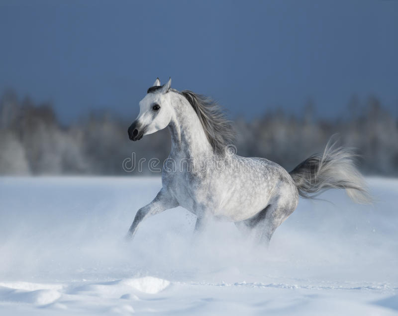 Galloping grey arabian horse on snow field royalty free stock photos