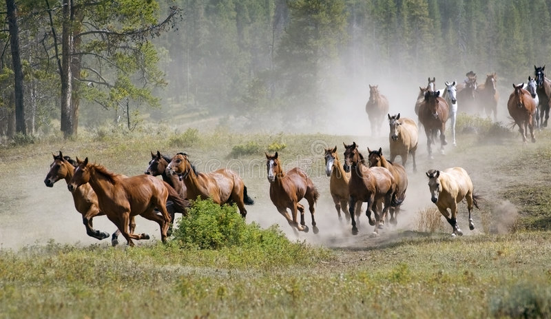 Galloping Horse Herd. Herd of horses gallop past raising dust
