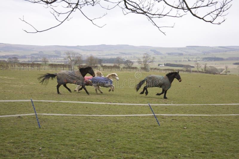 Galloping Horses Royalty Free Stock Image