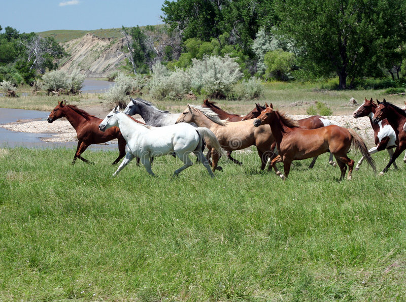 Galloping Horses. Herd of Wild Horses Running On Green Grass royalty free stock photo