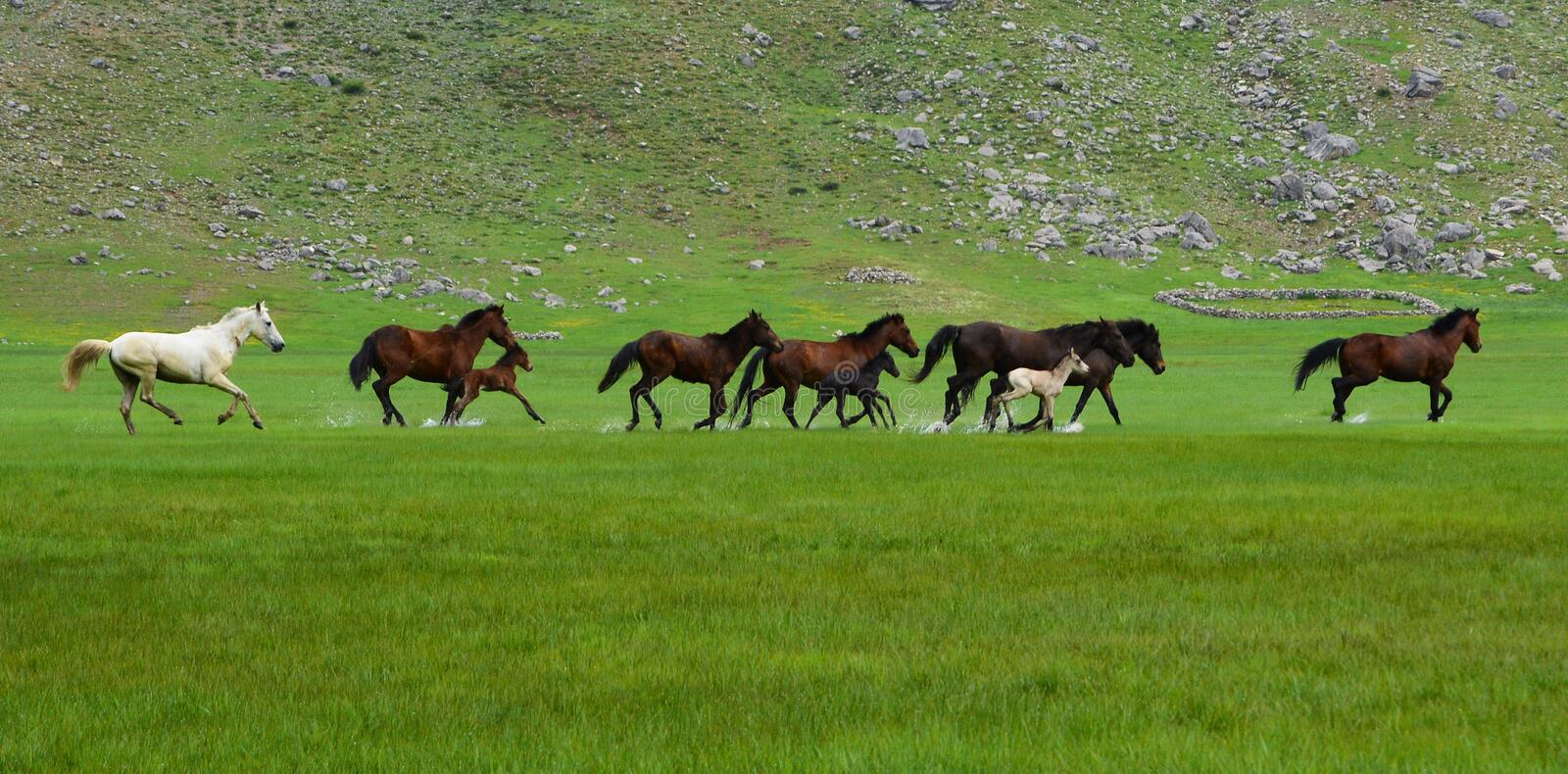 Galloping horses. Horse herd in mountain areas.Galloping horses.nwild horses royalty free stock photography