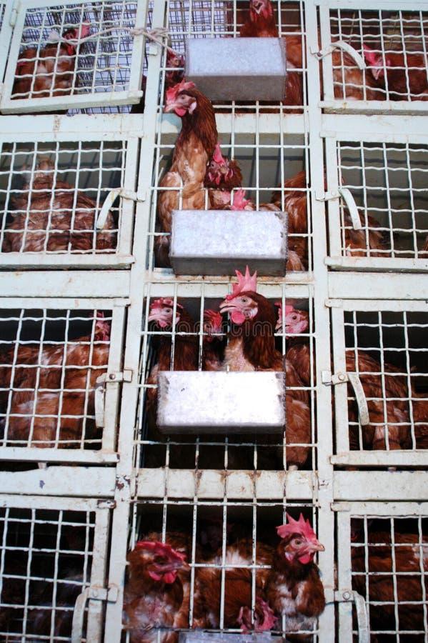 Download Gallos foto de archivo. Imagen de carnicero, pollo, doodle - 186604
