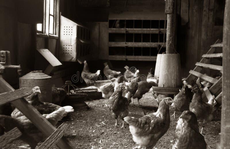 Gallos o gallos de los pollos que se colocan en un gallinero de pollo imágenes de archivo libres de regalías