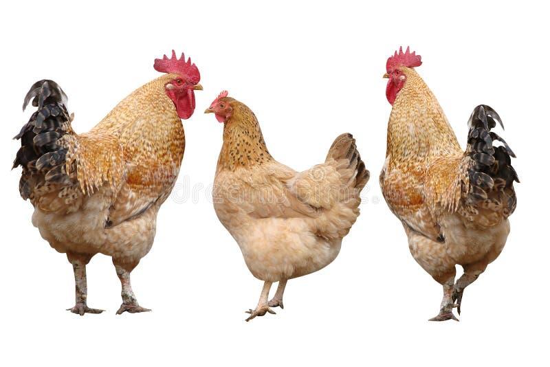 Gallos Y Pollo De Las Aves De Corral Imagen De Archivo