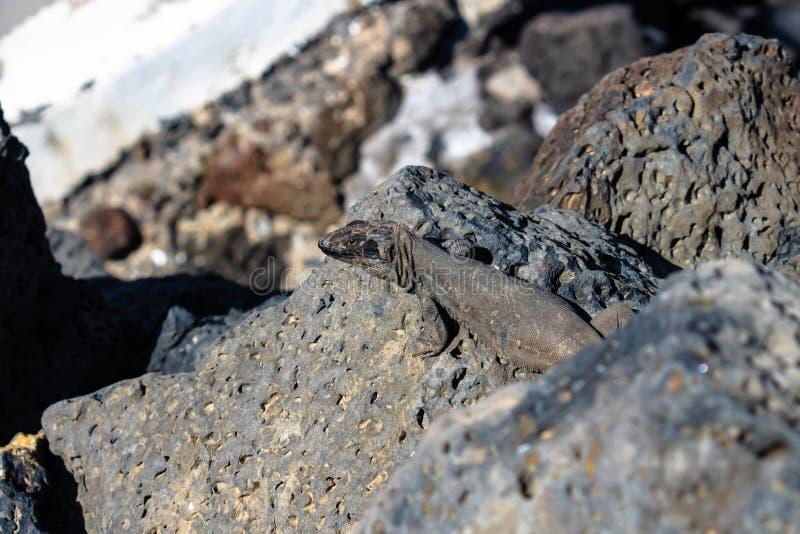 Galloti che si siede sulle rocce, Tenerife, Canarias, Spagna - immagine di galloti di Gallotia della lucertola di Tenerife fotografia stock