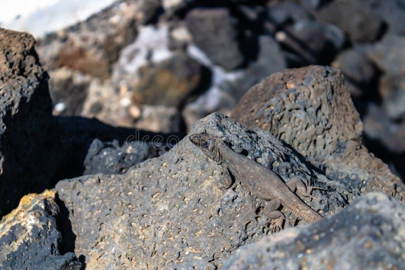 Galloti di galloti di Gallotia della lucertola che gode del sole sulle rocce, Tenerife, Canarias, Spagna - immagine fotografie stock