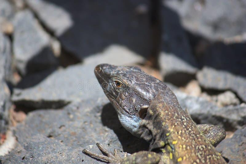 Gallotiagalloti, hagedis van Tenerife, Canarische Eilanden royalty-vrije stock fotografie