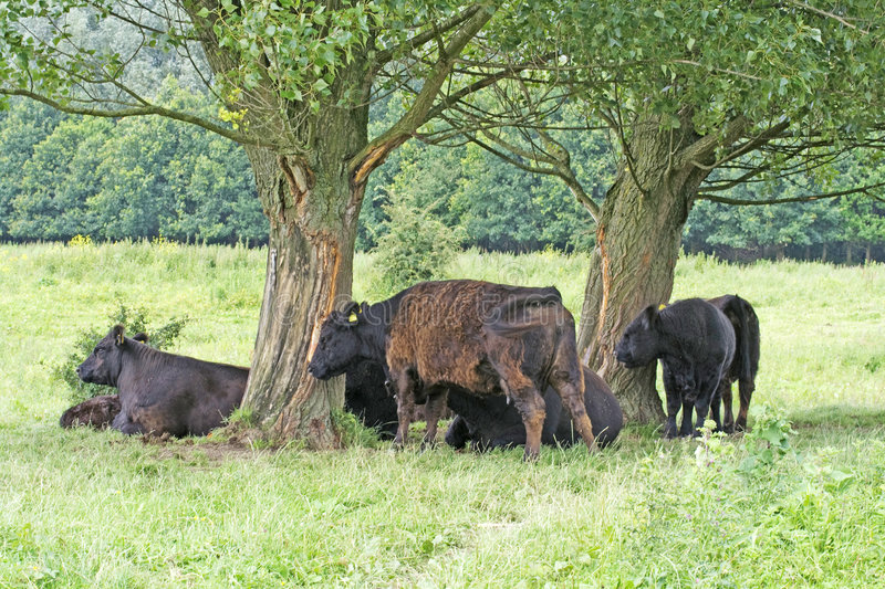 Galloway cattle. Galloway, lowland Scots, hardy black hornless beef cattle scratching against tree and resting under tree royalty free stock photos