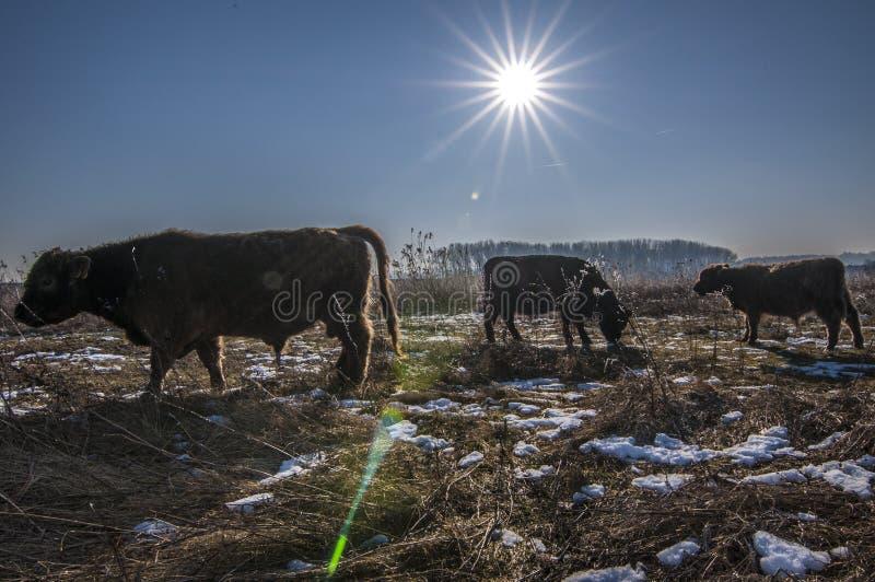Galloway krowy zdjęcia stock