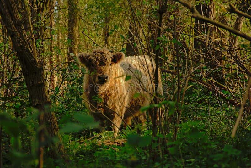 Gallowaycalf lindo en el bosque imagenes de archivo