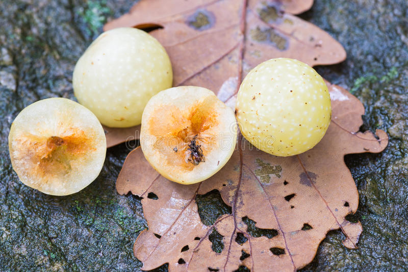 Galls of the Cynips quercusfolii and gall wasp on oak leaf royalty free stock images