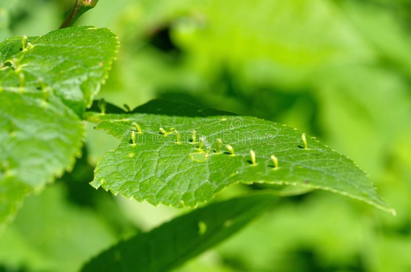 Galls on a leaf of bird cherry royalty free stock photos