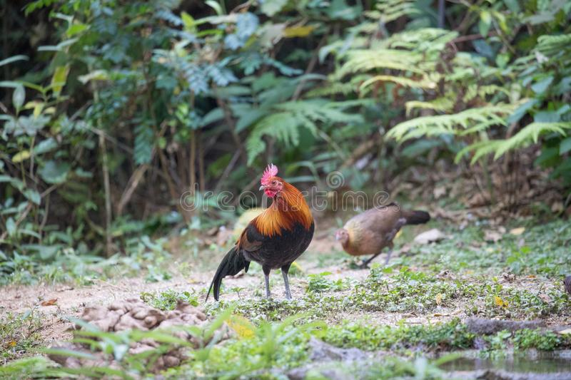 Fantastic beast and where to find them - Gallus gallus/Red junglefowl. Gallus gallus Red junglefowl was first domesticated at least five thousand years ago in stock images