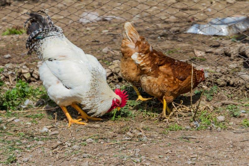Galo e galinhas na fábrica imagens de stock royalty free