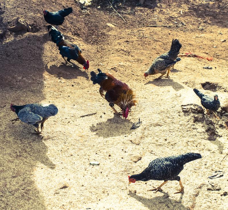 Galo novo e galinhas fotografia de stock