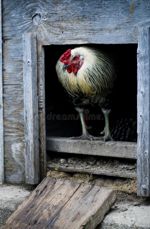 Galo ou galo azul que estão em uma abertura da porta da capoeira de galinha fotos de stock royalty free