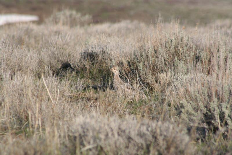 galo silvestre Afiado-atado (phasianellus de Tympanuchis) imagem de stock royalty free