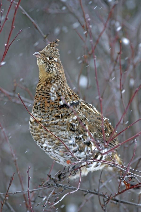 Galo silvestre de Ruffed no inverno, empoleirado no arbusto da baga que procura o alimento fotos de stock