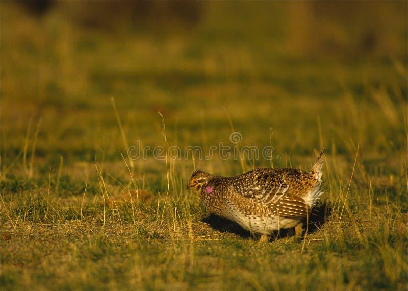 Galo silvestre de Sharptail em leks fotografia de stock